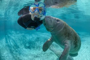 Image of woman swimming with a manatee