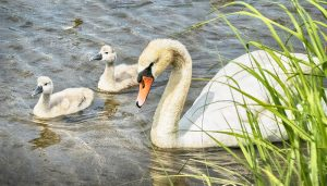 image of mute swan and cygnets